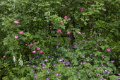 Rosa 'Raubritter' underplanted with geraniums and foxgloves