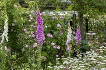 Rosa 'Ispahan', Digitalis purpurea, leucanthemum