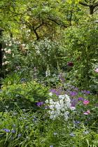 Shady border, campanula, geranium, tradescantia, peony seedheads, roses, foxgloves