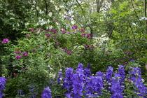 Campanula, Rosa 'Perennial Blue', Rosa 'Lykkefund'