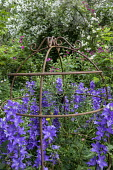 Campanula in metal plant support, Rosa 'Perennial Blue', Rosa 'Lykkefund'