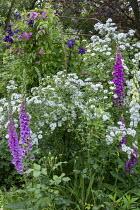 Rose garden, clematis climbing over arch, foxgloves, Rosa 'Guirlande d'Amour'