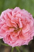 Rosa 'Erna Doris'