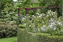 Box hedge, Cornus kousa, metal pergola, Rosa moschata 'Musquée sans soucis', Rosa centifolia 'Vierge de Cléry', Rosa x alba 'Alba Maxima'
