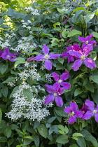 Clematis recta, Clematis 'Étoile Violette'