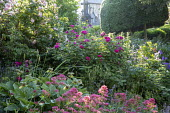 Roses in border, clipped yew tree, view to churchyard, Centranthus ruber
