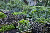 Kitchen garden, woven willow raised beds, chives, lettuces, onions, parsley