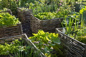 Kitchen garden, woven willow raised beds, chives, lettuces