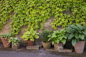Collection of hostas in terracotta containers against wall, Parthenocissus tricuspidata climbing over wall