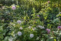 Rose in border, metal hoop plant support, metal fence