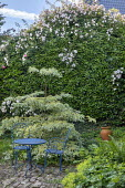 Cornus controversa 'Variegata', blue metal table and chairs on stone sett patio, rose climbing over ivy hedge, Alchemilla mollis