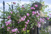 Rosa 'Raubritter' climbing over metal gate