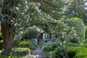 Rosa 'Alchymist' on arch, cobbled path to house