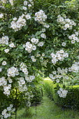 Rosa 'Wedding Day' climbing over arbour