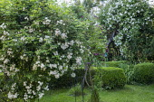 Rosa 'Wedding Day' climbing over arbour, Rosa helenae climbing on old tree