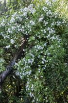 Rosa helenae climbing on old tree