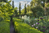 Gravel path through clipped box hedges, Rosa 'Felicitas', Rosa 'Charles de Mills', Aruncus dioicus