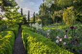 Gravel path through clipped box hedges, roses, Aruncus dioicus