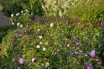 Rose border, Rosa 'Maria Mathilda', Rosa gallica 'Versicolor' syn. Rosa mundi, Rosa 'Aspirine' and Rosa 'La Noblesse',  metal fence, Persicaria polymorpha