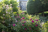 Roses in border, clipped yew tree, view to churchyard