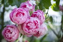 Rosa 'Raubritter'