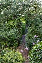 Gravel path, ramblling Rosa filipes 'Kiftsgate' climbing over arch, Alchemilla mollis, peony