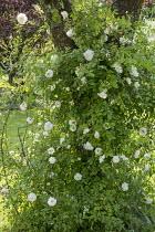 Rose climbing in tree