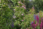 Rose on metal plant support, lupins