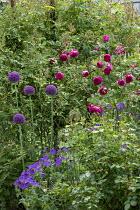Allium giganteum, roses, geraniums