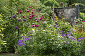 Roses, metal plant support, foxglove, alliums, geranium