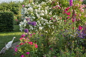 Roses, metal plant support, foxglove, alliums, ducks on lawn