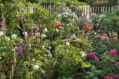 Roses, poppies, foxgloves, metal plant support, rustic wooden fence