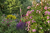 Salvia, rose, foxgloves, Lysimachia punctata, clematis in metal plant support, brunnera