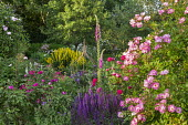 Salvia, rose, foxgloves, Lysimachia punctata, clematis in metal plant support