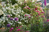 Roses, alliums, foxgloves