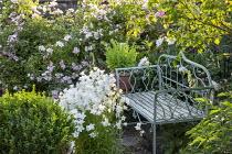Metal bench, campanula, roses