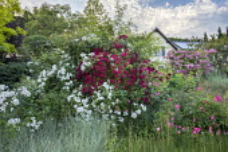 Rose garden, Rosa 'Pleine de Grace' (Lens 1984), Rosa 'Wilderode' (Lens 2009), Rosa 'Hugo Maweroff' (Soupert & Notting 1910)