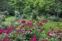 Rose garden, Rosa 'Paganini' (Lens 1989), Rosa 'Grand-Duc Jean' (Lens 2010)