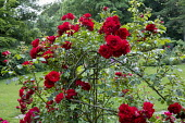 Rosa 'Amadeus' climbing on plant support