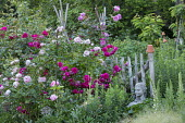 Rosa 'Giardina' (Tantau 2008) and 'Laguna' (Kordes 2004) climbing over rustic wooden fence, rustic wooden fence