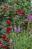 Rosa 'Amadeus', Digitalis purpurea