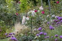 Rose garden, Rosa 'Sally Holmes' (Robert A.Holmes 1976), rustic wooden fence, verbena