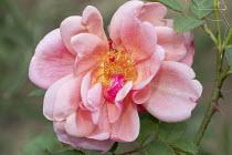 Rosa 'Souvenir de Gustave Schickele'