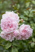 Rosa 'Rousefrënn'