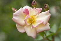 Rosa 'Absolument Claude'
