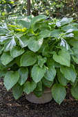 Hosta plantaginea in large container