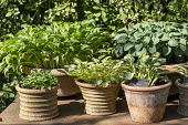 Collection of miniature hostas in terracotta pots including Hosta 'Holy Mouse Ears'
