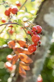 Rosa glauca rosehips in tree