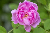 Rosa x damascena 'Quatre Saisons'