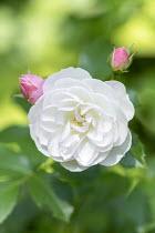 Rosa 'Bouquet Parfait'